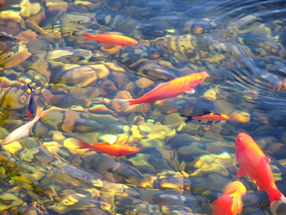 Protect your feature from the cold for Koi carp company