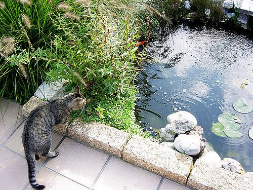 Should i use pebbles in my pond for Koi pond hiding places