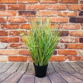 Potted Meadow Grass