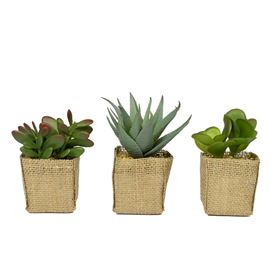 Set of 3 Succulents in Square Pots Wrapped in Jute